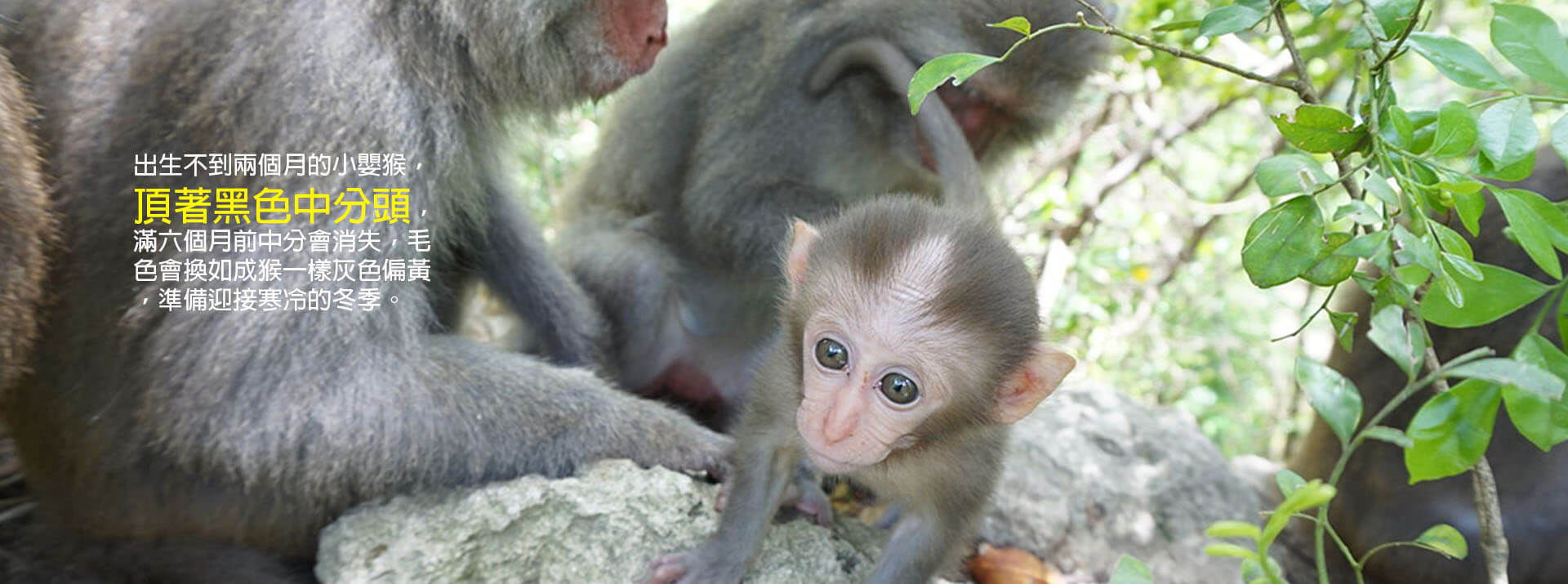 台灣獼猴, 日本獼猴與恆河猴是血緣親戚, 長的還是不一樣喔!