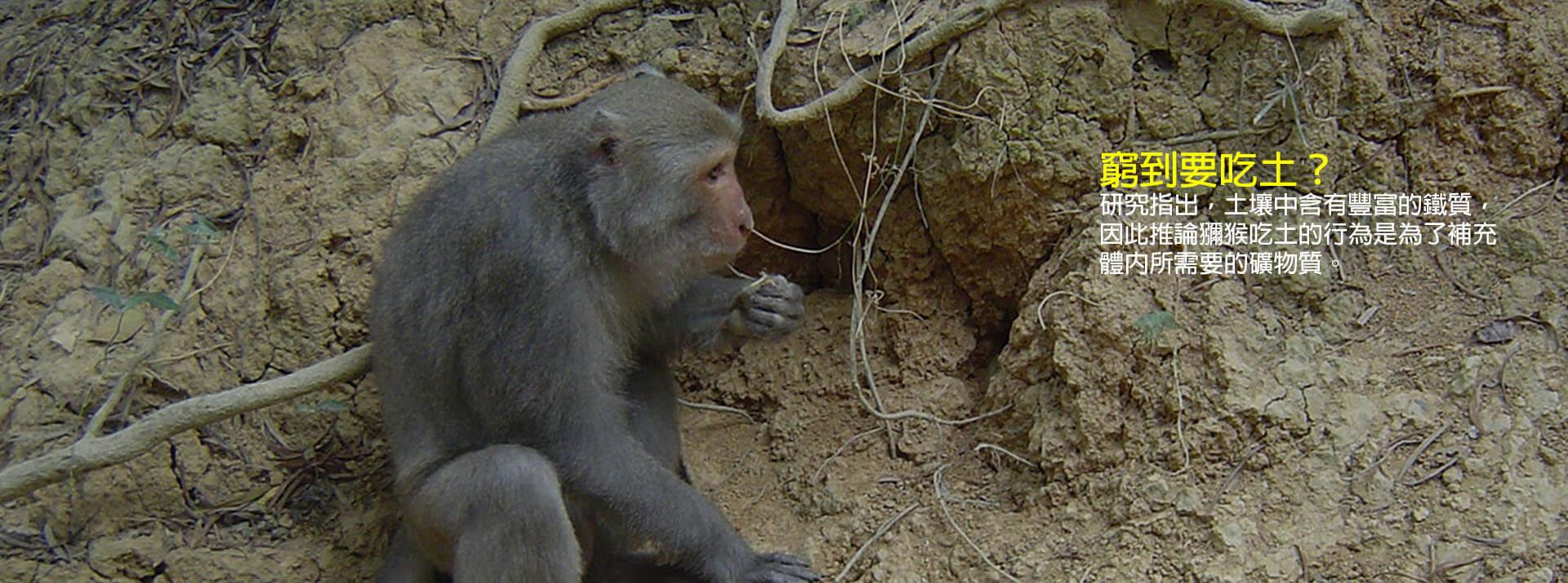 獼猴會吃土-你知道嗎?