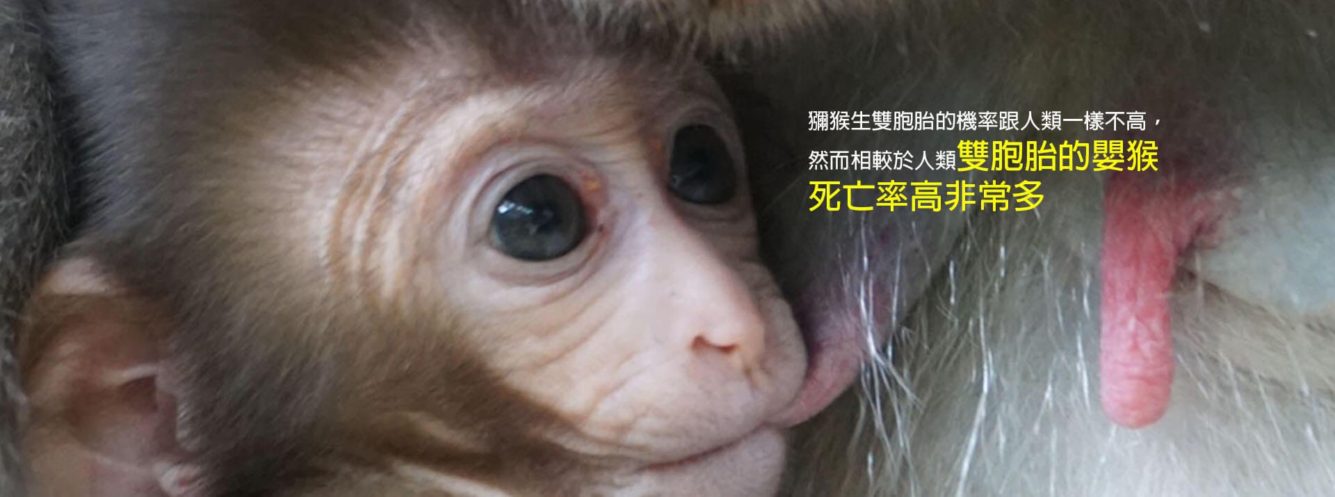 獼猴的數量成謎-吃得多會排便多-但不會生比較多